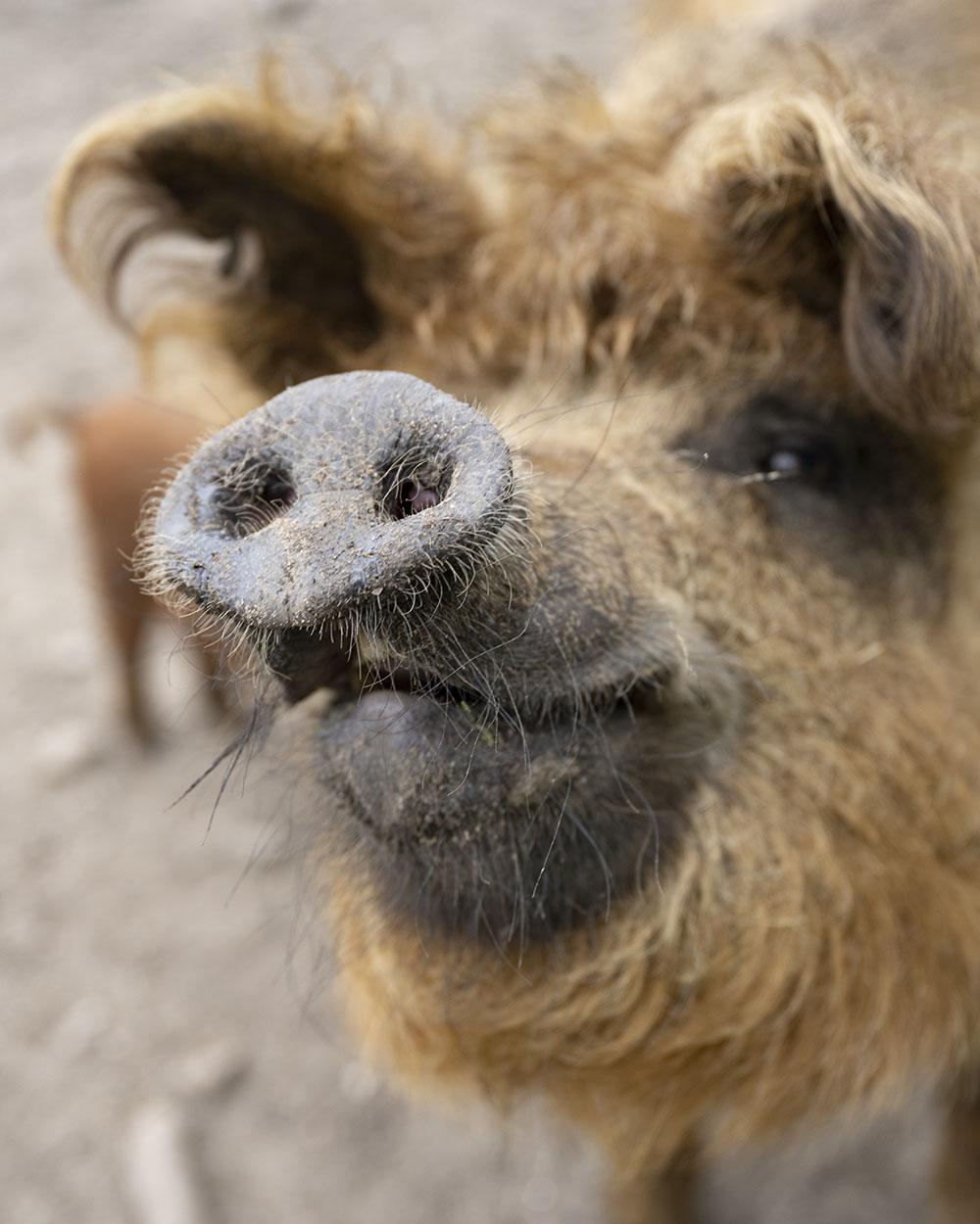 Nahaufnahme eines Roten Mangalitza Wollschweins, das in seinem Bestand gefährdet ist. Aufgenommen ist das Bild im Tierpark Arche Warder.