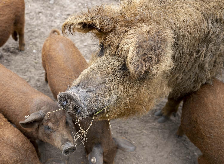 Die Mutter mit ihren Jungen. Der Tierpark Arche Warder kümmert sich darum, dass die Rasse der Wollschweine nicht ausstirbt.