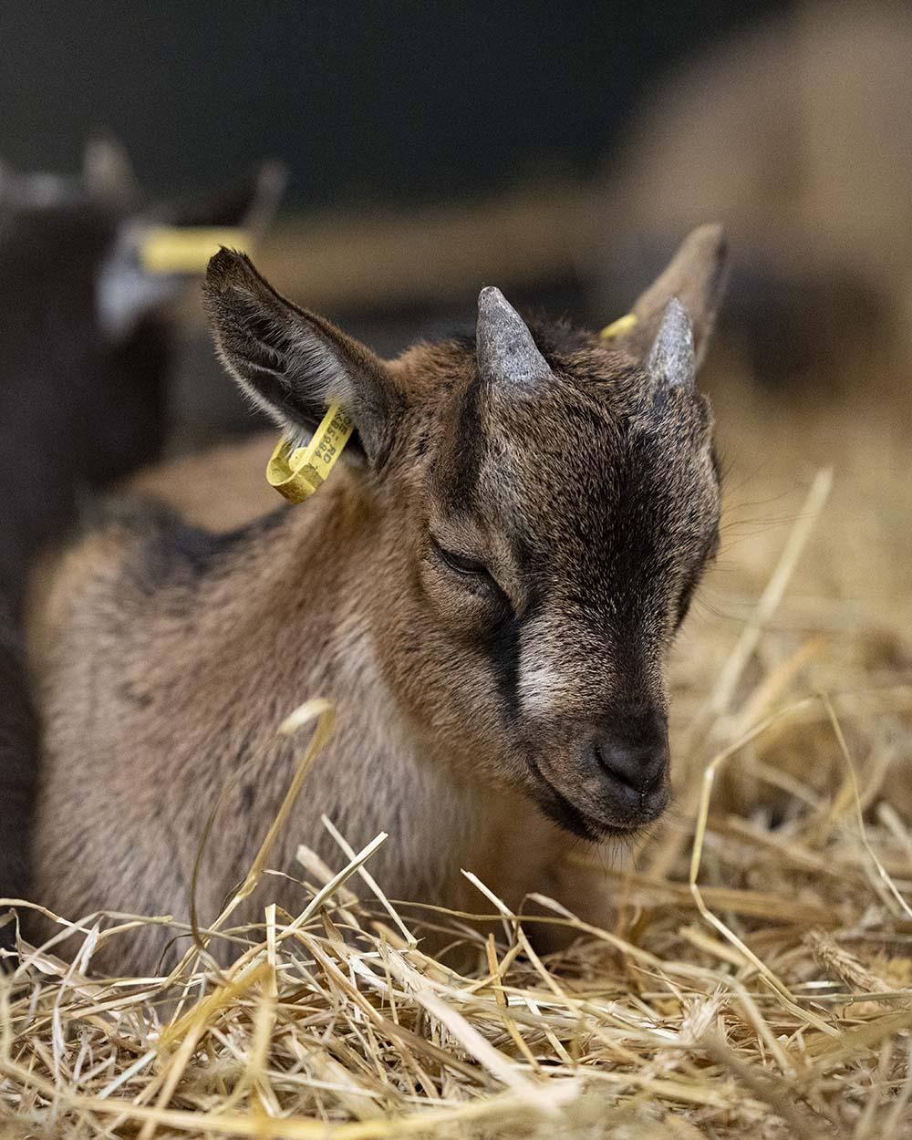 Eine junge Ziege, aufgenommen im Stroh im Tierpark Arche Warder.