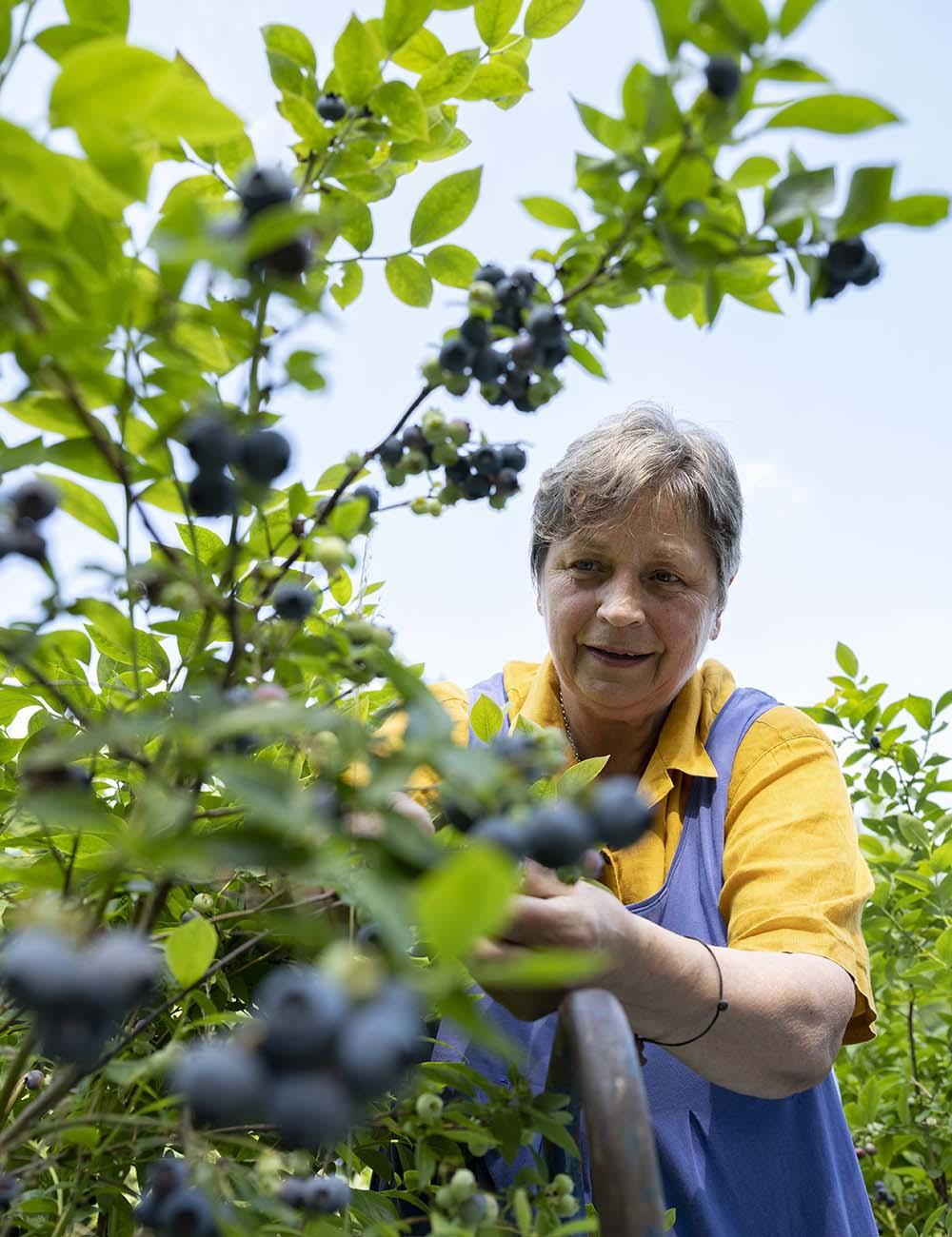 Portrait von Birgit Wahlen. Sie plückt während der Ernte frische Blaubeeren, die auch Heidelbeeren heißen. Alle Früchte sind auf dem Obsthof Wahlen in Bio-Qualität.