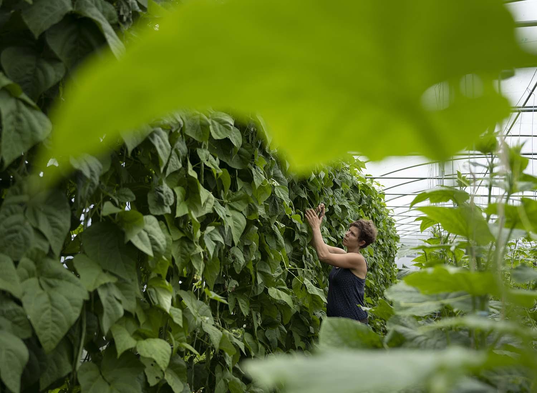 Gärtnerin Jenni erntet im Gewchshaus frische Stangenbohnen.