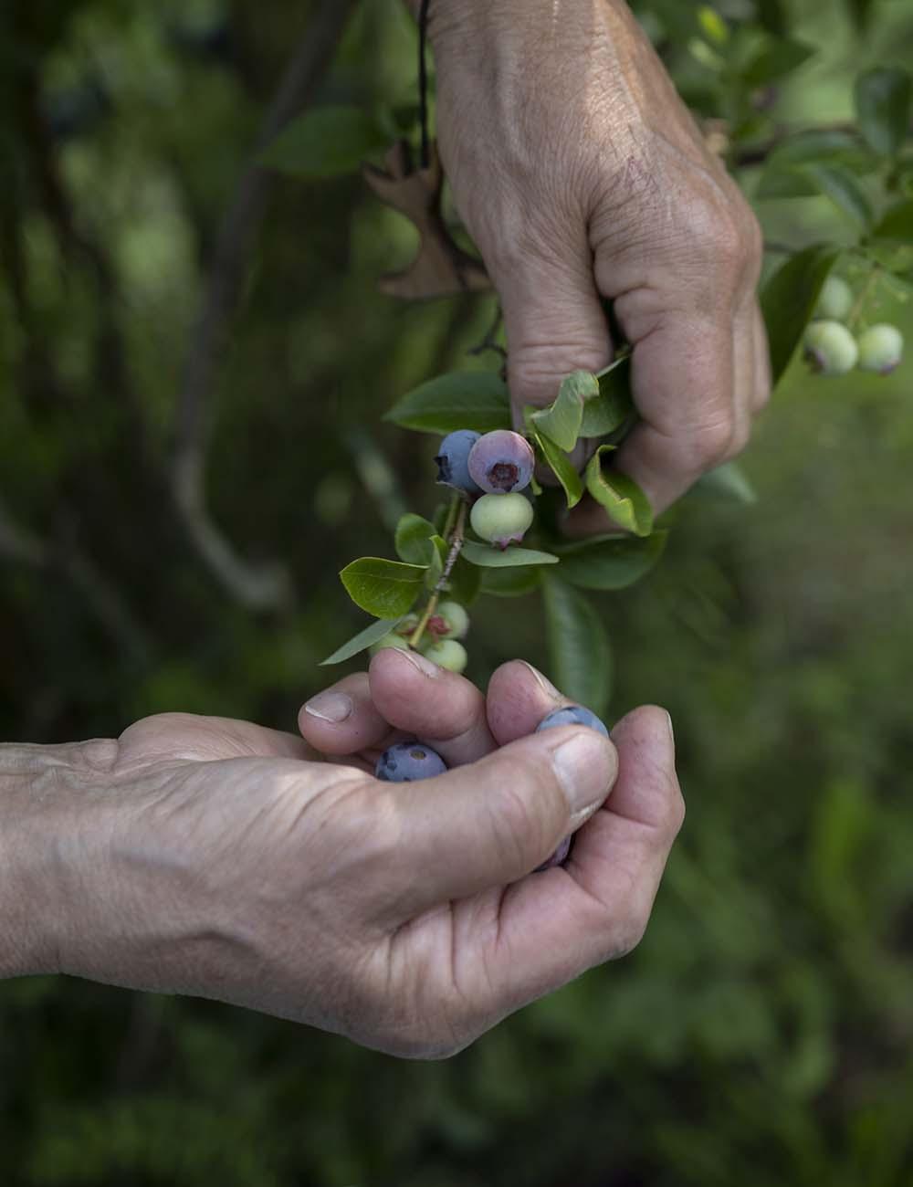 Birgit Wahlen pflückt frische Heidebeeren. Auf dem Foto sind ihre Hände zu sehn, die vorsichtig die Beeren vom Busch nehmen.
