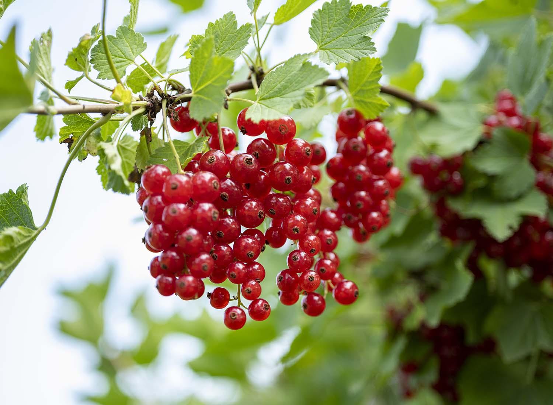 Rote Johannisbeeren hängen an einem Strauch,d er im Garten auf dem Obsthof Wahlen steht.