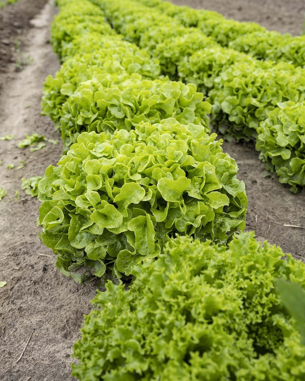 Frischer Salat auf dem Feld. zu sehen sind mehrere Reihen, die Gärtnerin Jenni auf dem Gut Rothenhausen angepflanzt hat.