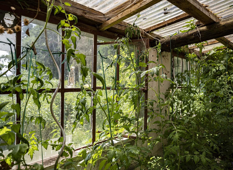 Innenansicht des Gewächshauses. Vor den hohen Fenstern ranken zahlreiche Gurkenpflanzen.