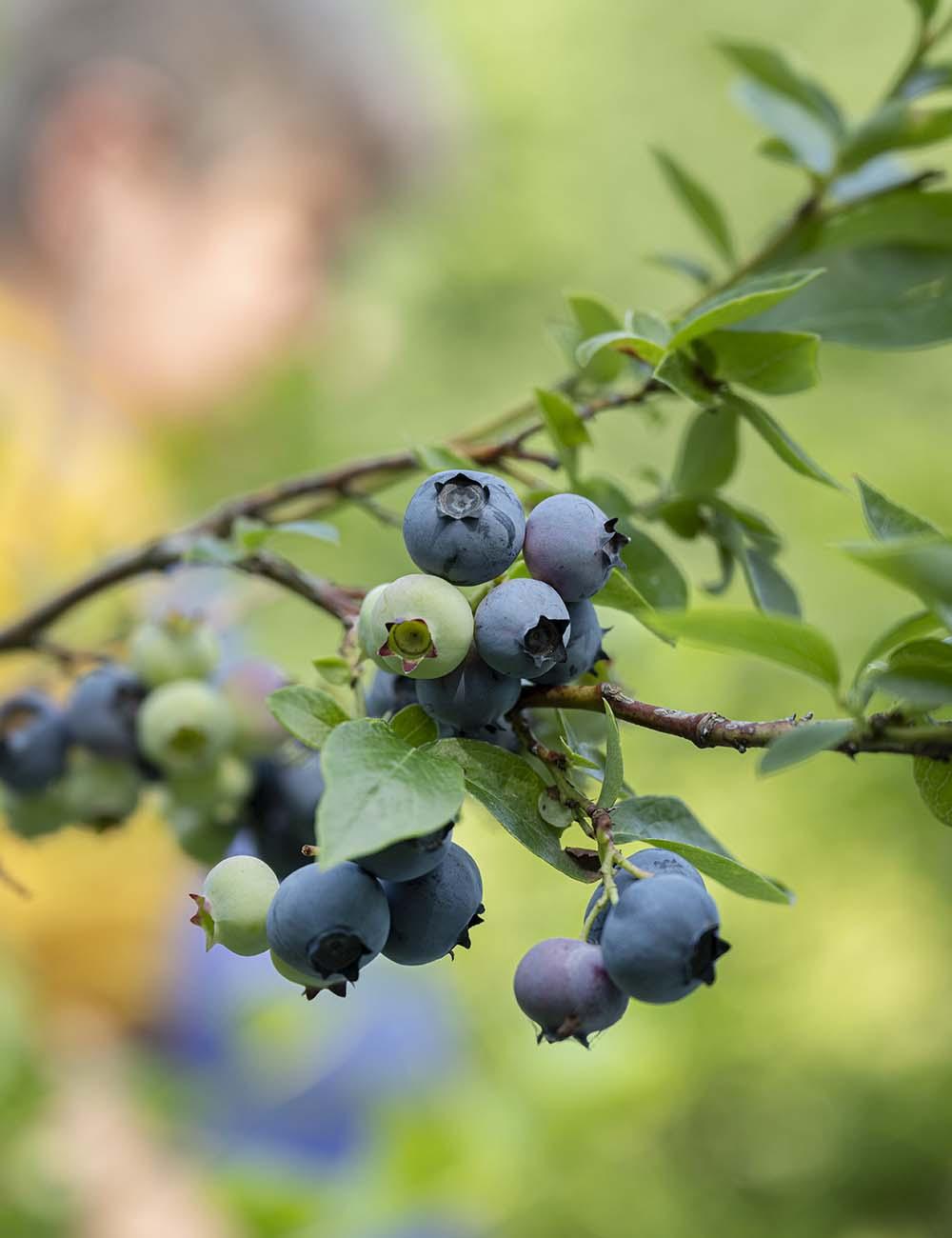 Frische Heidelbeeren hängen auf dem Obsthof Wahlen am Busch. Im Hintergrund ist unschwarf Birgit Wahlen bei der Ernte zu sehen.