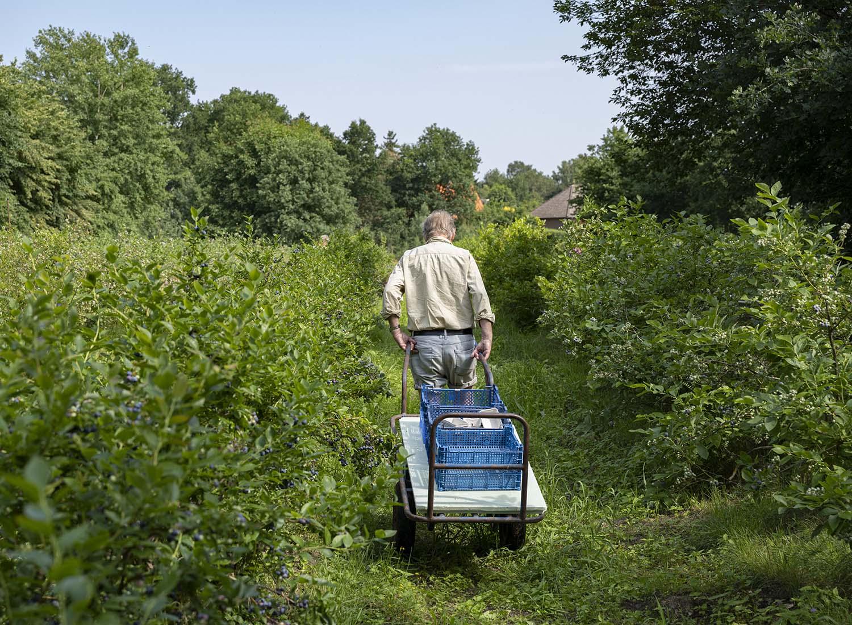 Hinrich Wahlen zieht eine Karre fort, auf der sich mehrere Kisten mit frisch geernteten Heidelbeeren stapeln. Die Früchte vertreibt der Obsthof ahlen unter anderem in umliegenden Märkten.