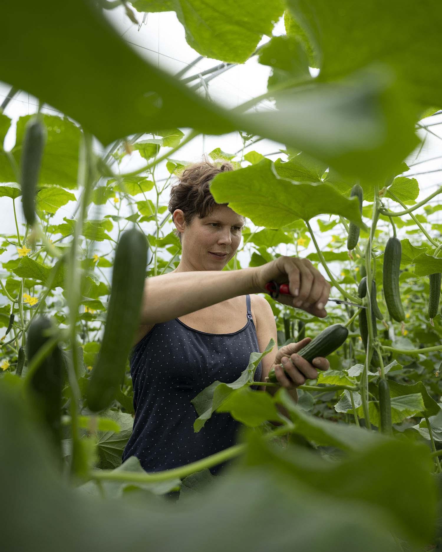 Gärtnerin Jenni ernten im Gewächshaus Mini-Gurken.