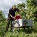 Cord Lefers erntet auf dem Obsthof Lefers frische Kirschen in Bio-Qualität.