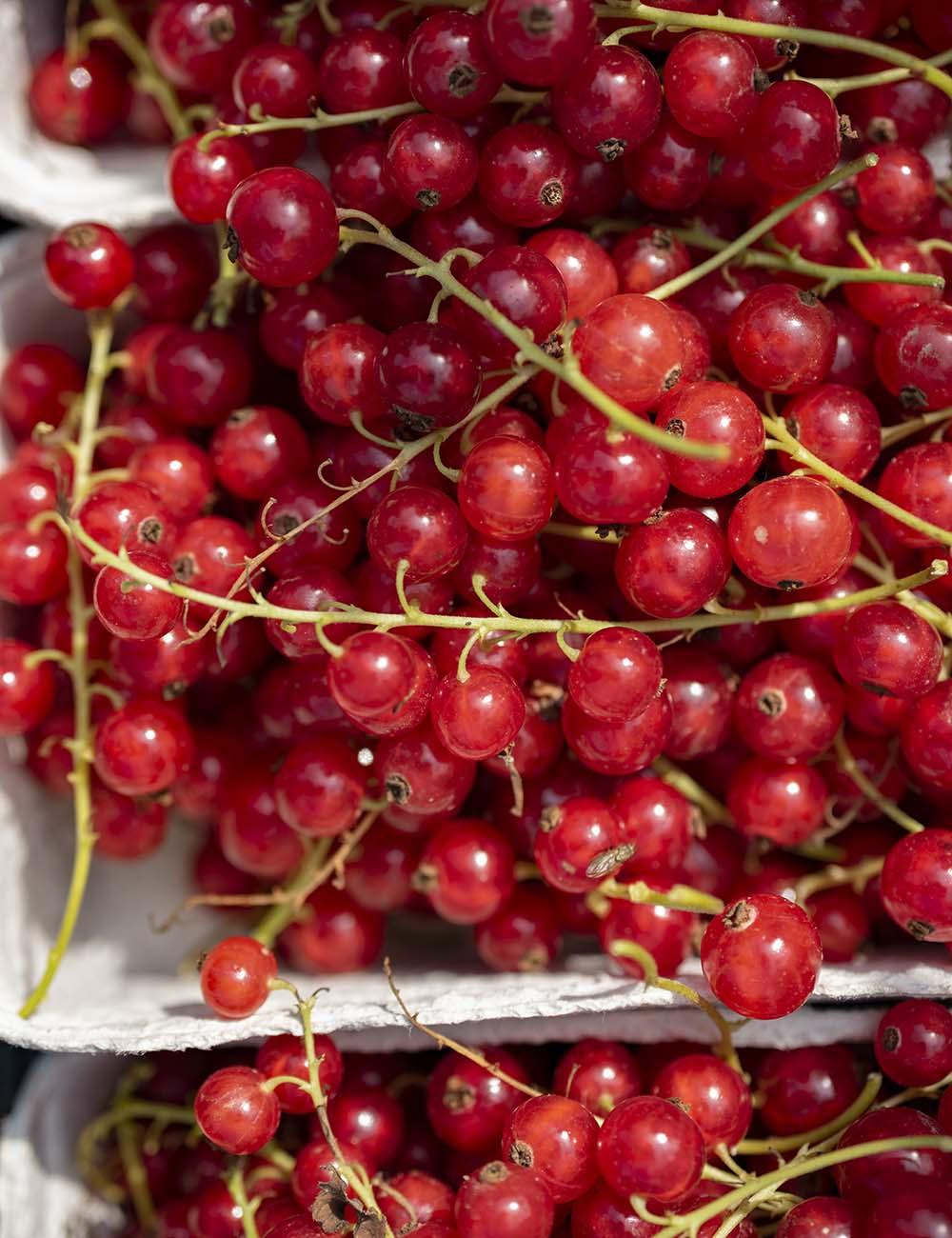 Rote Johannisbeeren liegen nach der Ernte in den Schalen.
