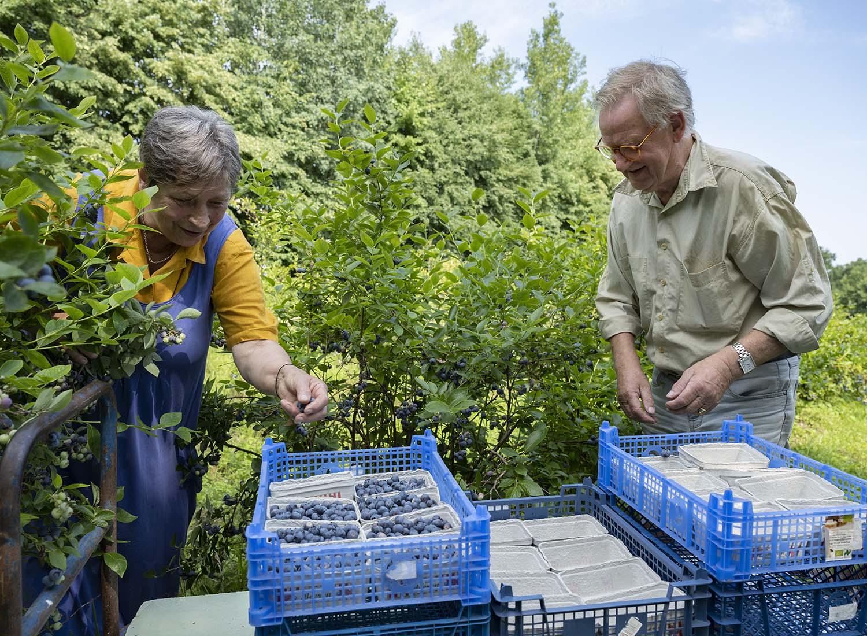 Birgit und Hinrich vom Obsthof Wahlen pflücken gemeinsam Heidelbeeren. Sie sind auf dem Feld zu sehen, das sie als erstes bei der Aufnahme ihres Betriebes in Dahlenburg gepachtet haben. Nach und nach sind weitere Felder hinzugekommen.