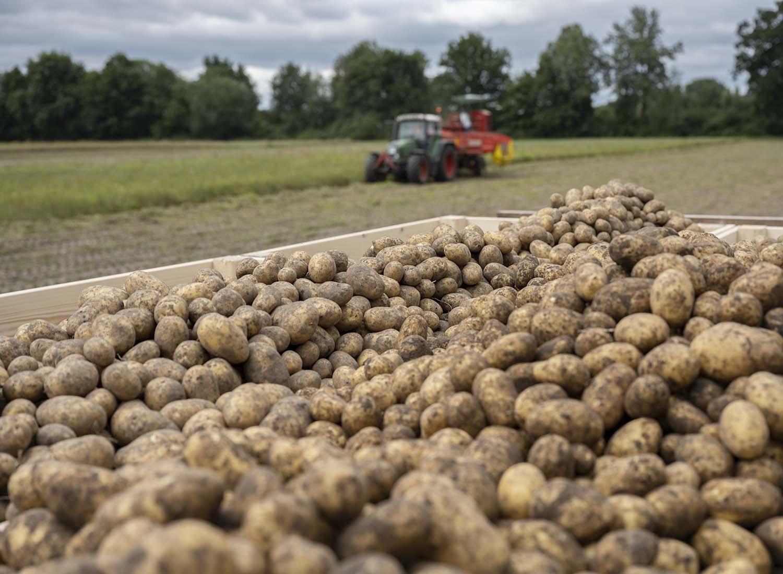 Wir warenb ei der Kartoffelernte dabei. Das Foto zeigt einen Lader, auf dem frisch gerodetete Kartoffeln liegen. Im Hintergrund fahren der Traktor und der Roder über das Feld.