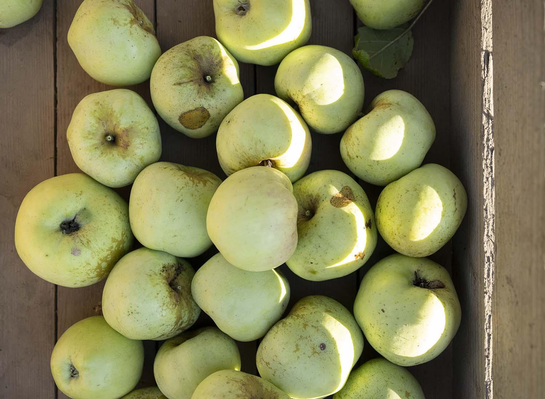 Äpfel der alten Sorte Fürst Blücher liegen nach der Ernte in einer Holzkiste.