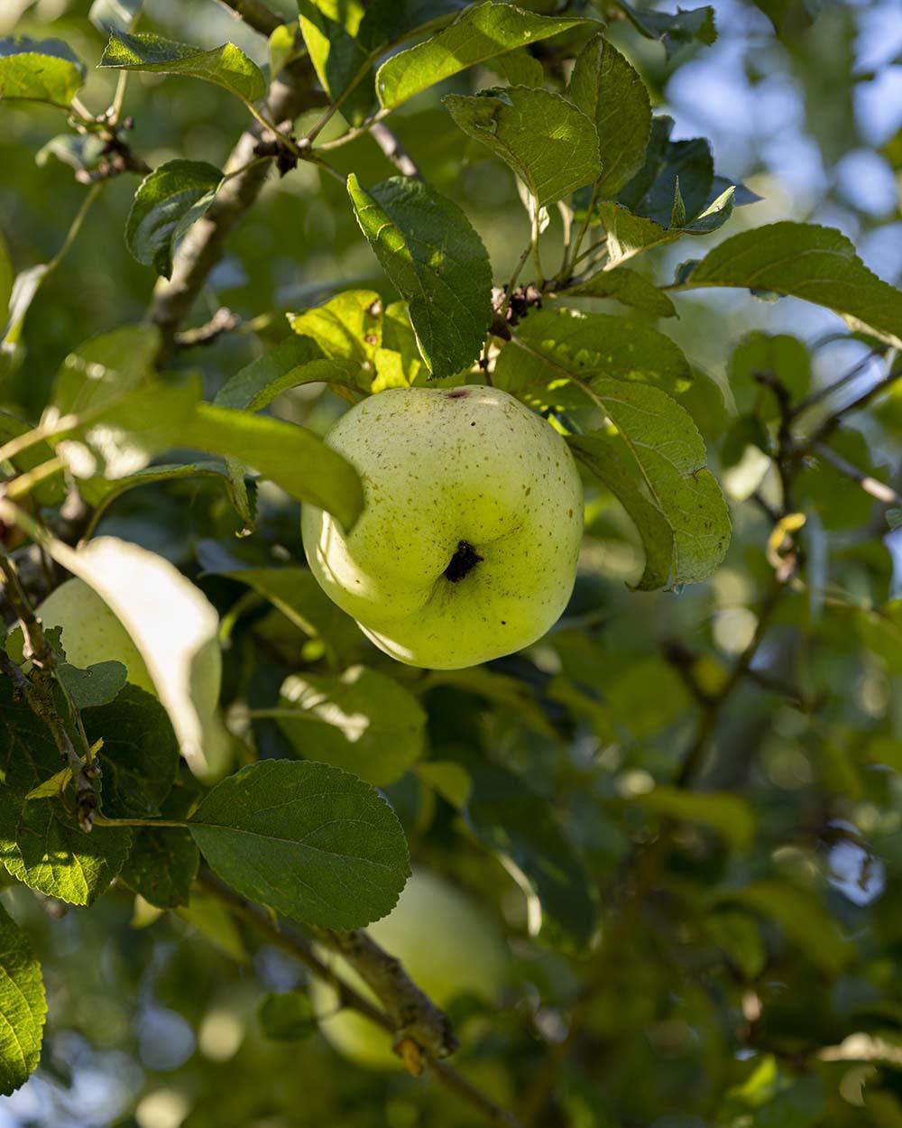 Wir haben den Hof Gu Rothenhausen besucht und Henning bei der Ernte der Äpfel begleitet. Das Foto zeigt einen Apfel am Baum.