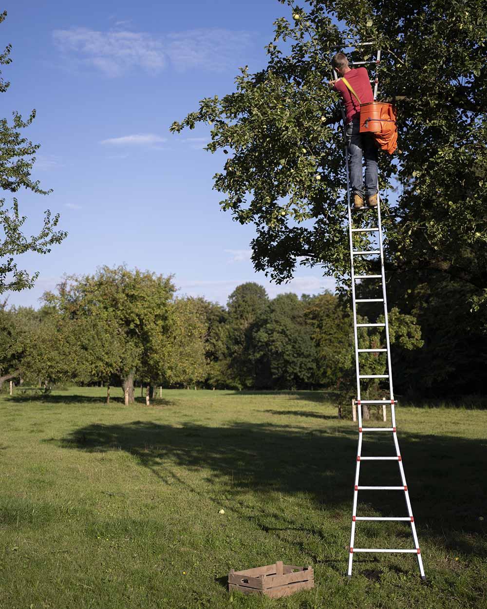 Henning steht ganz oben auf der Leiter. Er pflückt von einem alten Apfelbaum die Äpfel der Sorte Fürst Blücher.