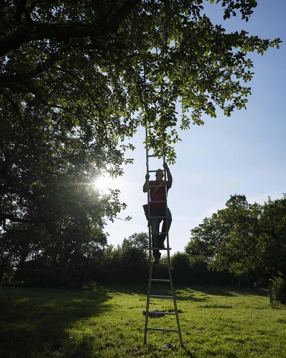 Henning Jahn klettert auf dem Gut Rtohenhausen auf einer hohen Leiter in einen Apfelbaum. Er erntet im September die alte Apfelsorte Fürst Blücher.