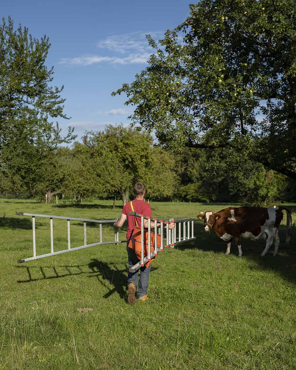 Henning geht auf dem Gut Rothenhausen mit einer großen Leiter zu einem Apfelbaum. Dort wird er Äpfel der Sorte Fürst Blücher ernten. Unter dem Baum auf der Streuobstwiese steht eine Kuh.