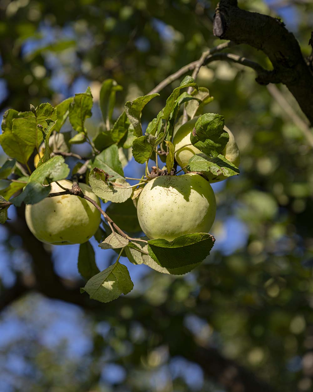 Wir haben den Hof Gu Rothenhausen besucht und Henning bei der Ernte der Äpfel begleitet. Das Foto zeigt zwei Äpfel am Baum.