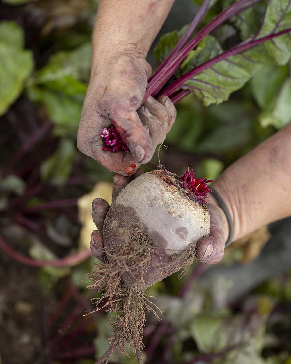 Eine Landwirtin bricht die Stengel von der Rote Bete ab.